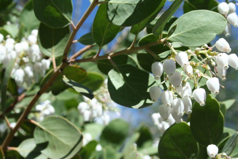 Manzanitaflowers