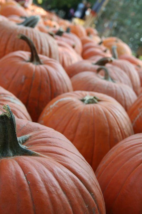 Pumpkin patch 113