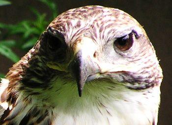 Hawkface