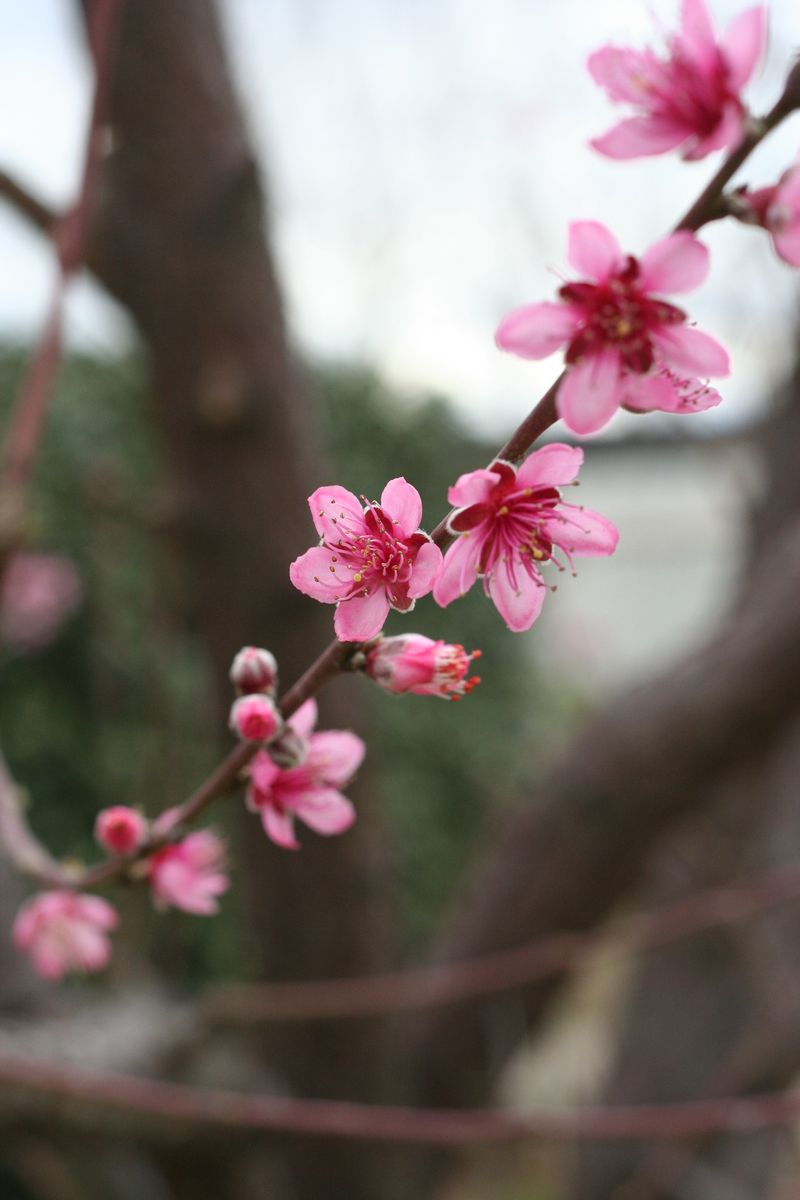 Springbuds