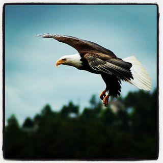 Eagle_elinay_West