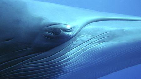 Minke_whale_mikeball