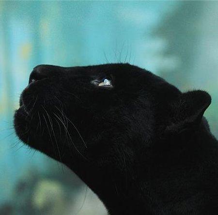 Black-panther-5