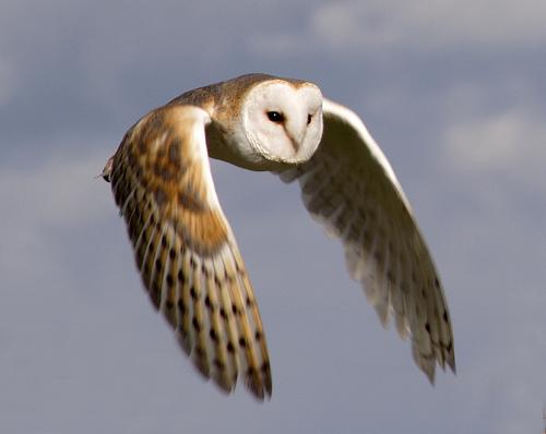 Owl_truewildlife