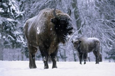 Buffalo_snow