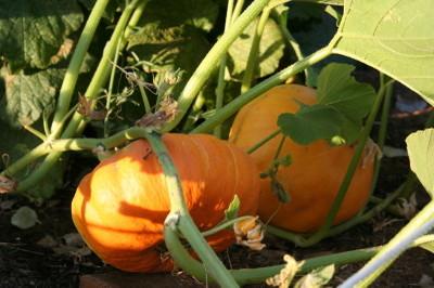 Pumpkinsinjune_1_1