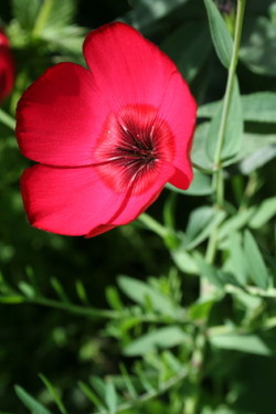 Redflower_1_1